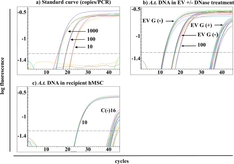 Detection of A . t .-sequences in recipient cells using TaqMan-based qPCR. (a) Standard dilutions of A . t .-DNA in quadruplicates with 1.000–10 copies/PCR show a linear dependency. (b) Eightfold replicates of two different DNA isolations from EV without (G(-)) DNase treatment showed high abundant A . t .-sequences with Ct = 13 and 18 whereas those with DNase treatment (G(+)) showed much lower A . t .-DNA amounts. As comparison, positive standard with 100 copies/PCR was plotted. (c) Several replicates of the sample C(-)16 were detected with Ct of ≥ 40. As comparison, positive standard with 10 copies/PCR was plotted. All negative controls did not give rise to signals at any time (not shown).