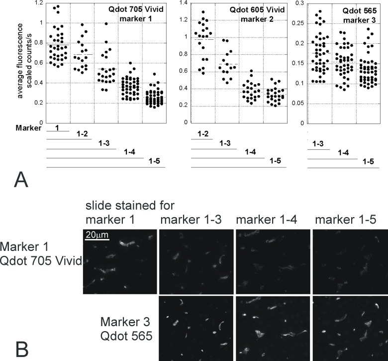 Decreased immunofluorescence during multiplex staining. Serial sections were stained with 1 to 5 different markers (Marker 1, MHCII Qdot 705Vivid; Marker 2, HO1 Qdot 605Vivid; Marker 3, CD163 Qdot 565; Marker 4, CD206 Qdot 655Vivid; Marker 5, CD68 streptavidin Qdot 525). After each staining round, a slide was mounted and imaged. Analysis of the intensity of Qdots 705Vivid, 605Vivid and 565 fluorescence is shown (Qdot 655Vivid 525 in S3 Fig ) for one representative field (aligned in serial sections). Each dot corresponds to one thresholded positive cell. The intensity of fluorescence is affected by the number of staining rounds (p