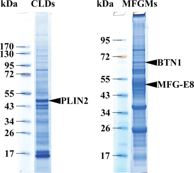 Protein profile of the CLDs and MFGMs by 1D SDS–PAGE. CLDs were prepared from mammary acini purified from mouse mammary gland at day 10 of lactation, and MFGMs were recovered from MFGs isolated from mouse milk collected at the same time point, as described in Materials and Methods . Proteins (∼8 μg) were loaded on 4–12% polyacrylamide gels (NuPAGE Novex, 4–12% Bis-Tris gel, NP002) in MES buffer and further stained with SimplyBlue SafeStain G250 (LC6060; Invitrogen). The relative molecular masses (kilodaltons) are indicated. Marker proteins appeared specifically enriched in each preparation: PLIN2 in CLDs, and BTN1 and MFG-E8 in MFGMs.