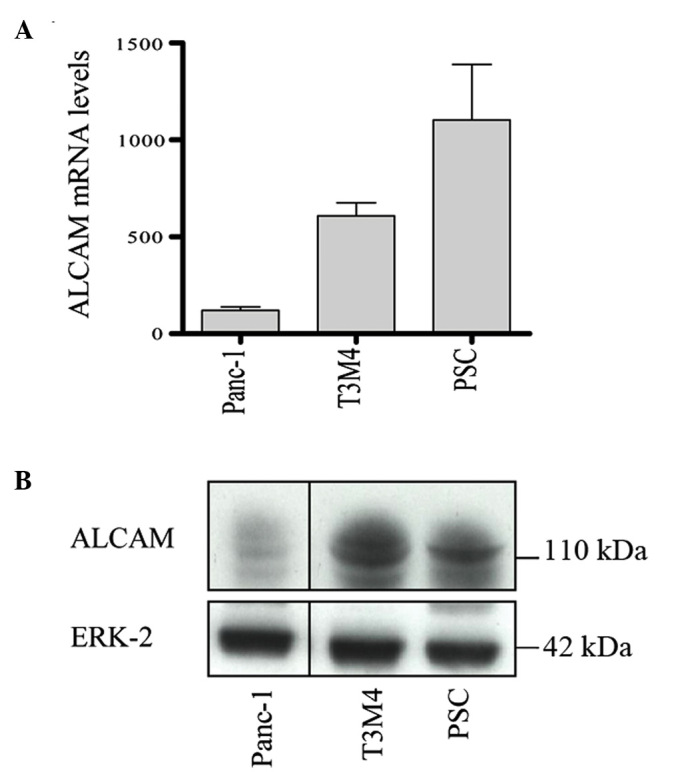 Differential expression of ALCAM in pancreatic cancer cells and PSCs. (A) Reverse transcription-quantitative polymerase chain reaction analysis of ALCAM mRNA levels in the pancreatic cancer cell lines Panc-1 and T3M4, as well as in PSCs. RNA input was normalized against the average expression of hypoxanthine-guanine phosphoribosyltransferase and cylophilin B, and presented as the copy number/ µ l <t>cDNA.</t> Immunoblotting analysis was performed to detect ALCAM protein expression in Panc-1 and T3M4 cells, and also in PSCs. (B) Equal loading of the protein samples was confirmed using an ERK-2 antibody. ALCAM, activated leukocyte cell adhesion molecule; PSCs, pancreatic stellate cells; ERK-2, extracellular signal-regulated kinase-2.