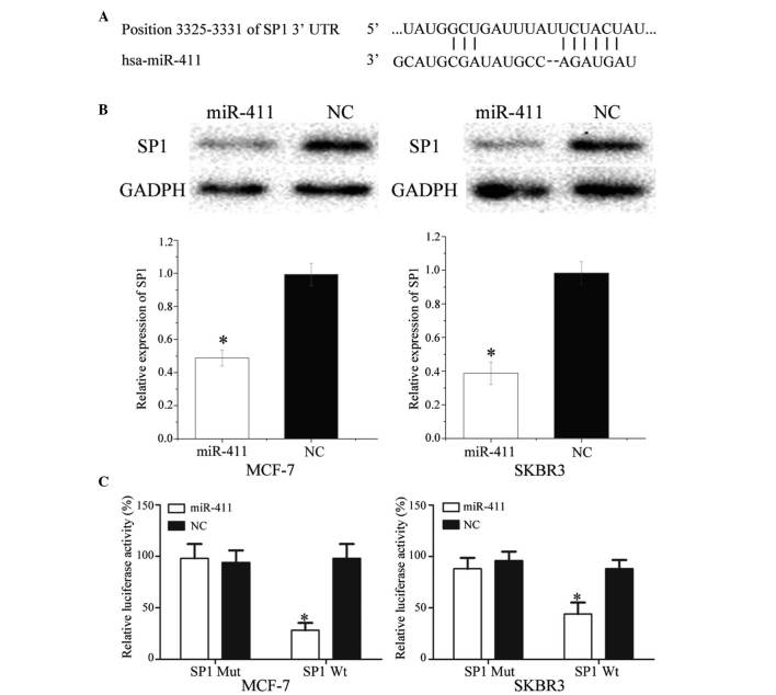 SP1 is a direct target gene of miR-411 in vitro . (A) TargetScan revealed that SP1 mRNA contained an miR-411 seed match at position 3,325–3,331 of the SP1 3′UTR. (B) Western blot analysis revealed that SP1 was significantly downregulated in MCF-7 and SKBR3 cells following transfection with miR-411. (C) Overexpression of miR-411 significantly inhibited the luciferase activity of SP1 Wt, but not SP1 Mut in the MCF-7 and SKBR3 cells. Data are presented as the mean ± standard deviation. * P