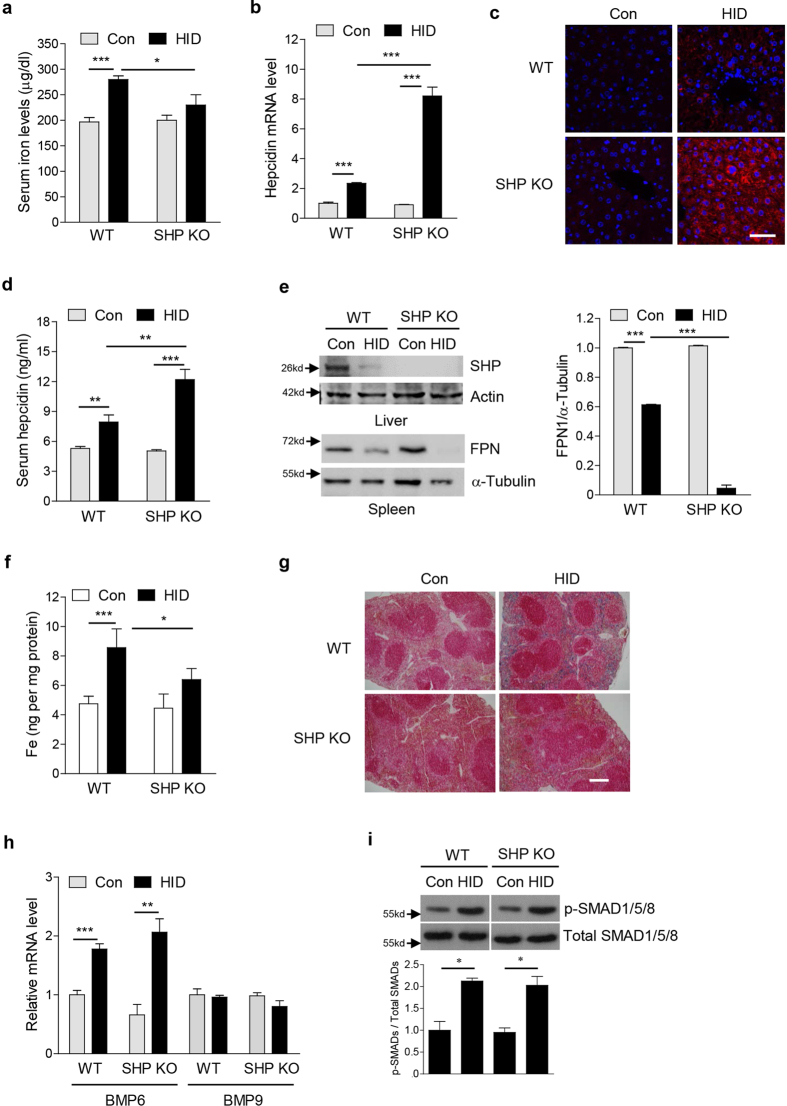 SHP deficiency alters hepcidin gene expression in liver of HID mice. ( a – i ) WT and SHP KO mice ( n = 5 per group) were fed with high-iron diet (HID, 8 g/kg) for 3 weeks. ( a ) Serum iron level. ( b ) Hepcidin mRNA level in liver. ( c ) Hepcidin expression in mouse liver. IHC was performed using an antibody against hepcidin. Scale bar shows 50 μm. ( d ) Serum hepcidin level. ( e ) Western blot analysis (left panel) showing hepatic SHP and splenic FPN expression and graphical representation (right panel) showing splenic FPN expression. ( f ) Splenic iron level. ( g ) Perls' prussian blue staining in spleen. Scale bar shows 200 μm. ( h ) BMP6 and BMP9 mRNA levels in liver. ( i ) Western blot analysis (top) and graphical representation (bottom) showing SMAD1/5/8 phosphorylation in liver. The grouping of the images is from different parts of the same gel. Data are presented as means ± SD. Arrows show locations of molecular weight markers. The experiment was repeated on a minimum of three separate occasions. The western blot images were cropped with a grey cropping line. All gels for western blot analysis were run under the same experimental conditions. * P