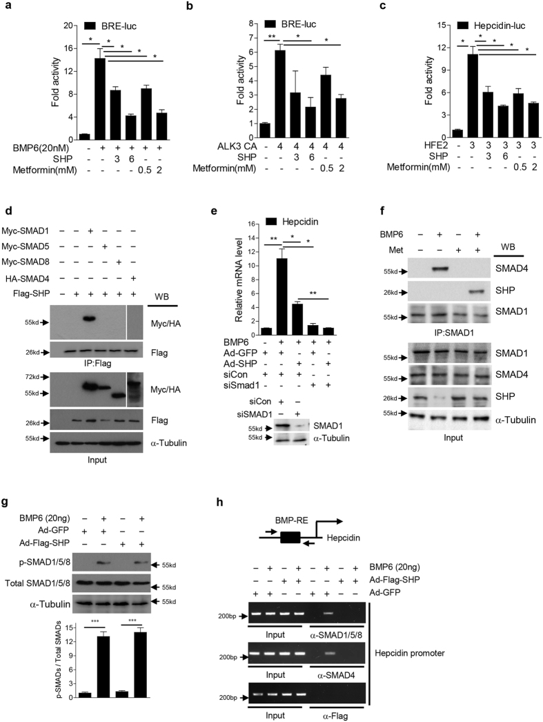 SHP represses BMP-mediated SMAD1 transactivation via inhibition of its DNA binding. ( a , b ) HepG2 cells were transfected with BRE-luc reporter plasmid along with vectors expressing SHP or ALK3 CA, and treated with BMP6 or metformin for 24 h. 3, 300 ng; 4, 400 ng; 6, 600 ng. ( c ) HepG2 cells were transfected with vectors expressing luciferase under the control of the hepcidin promoter, Hfe2 or SHP, and treated with metformin for 24 h. 3, 300 ng; 6, 600 ng. ( d ) Western blot analysis showing interaction of SHP and SMADs in 293T cells transfected with vectors expressing myc-SMAD1, myc-SMAD5, myc-SMAD8, HA-SMAD4 and Flag-SHP. The grouping of the image is from different parts of the same gel. ( e ) Q-PCR analysis showing hepcidin mRNA levels (top) and Western blot analysis showing SMAD1 expression (bottom) in mouse primary hepatocytes. Cells were transfected with siCon or siSMAD1 and infected with Ad-GFP or Ad-Flag-SHP. BMP6 was provided for 24 h+, 10 MOI. ( f ) Western blot analysis showing endogenous interaction of SHP and SMAD1 in HepG2 cells treated with BMP6 (20 nM) or metformin (2 mM) for 24 h. ( g ) Western blot analysis (top) and graphical representation (bottom) showing SHP effect on BMP6-medated SMAD1/5/8 phosphorylation. AML12 cells were infected with Ad-GFP or Ad-Flag-SHP (+10 MOI) and treated with BMP6 for 24 h. ( h ) ChIP assay was performed using soluble chromatin immunoprecipitated with anti-SMAD1/5/8, anti-SMAD4, and anti-Flag antibody. Mouse primary hepatocytes were treated with BMP6 for 24 h, and infected with Ad-GFP and Ad-Flag-SHP for 48 h. BMP-RE indicates BMP response element. Data are presented as means ± SD. Arrows show locations of molecular weight markers. The experiment was repeated on a minimum of three separate occasions. The western blot images were cropped with a grey cropping line. All gels for western blot analysis were run under the same experimental conditions. * P