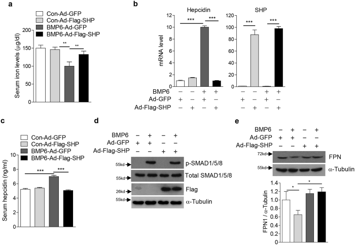SHP abrogates the BMP6 effect on iron metabolism through inhibition of hepcidin gene expression in mice. ( a – d ) C57/BL6 mice were injected with Ad-GFP ( n = 4 per group, 5.9 × 10 9 pfu) or Ad-Flag-SHP ( n = 5 per group, 5.9 × 10 9 pfu) via the tail-vein, and treated with Vehicle or BMP6 (500 μg/kg, i.p.) for 6 h at day 5 after the infection. ( a ) Serum iron level. ( b ) Q-PCR analysis showing hepcidin and SHP mRNA levels in liver. ( c ) Serum hepcidin levels. ( d ) Western blot analysis showing SMAD1/5/8 phosphorylation and SHP expression in liver. ( e ) Western blot analysis showing FPN expression in spleen (top). Graphical representation showing FPN expression (bottom). Data are presented as means ± SD. Arrows show locations of molecular weight markers. The western blot images were cropped with a grey cropping line. All gels for western blot analysis were run under the same experimental conditions. ** P