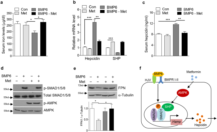 Metformin rescues BMP6-mediated alteration of iron metabolism in mice. ( a – e ) C57/BL6 mice ( n = 4 per group) were treated with BMP6 (500 μg/kg, i.p.) and metformin (200 mg/kg, p.o.). ( a ) Serum iron level. ( b ) Q-PCR analysis showing hepcidin and SHP mRNA levels in liver. ( c ) Serum hepcidin levels. ( d ) Western blot analysis showing SMAD1/5/8 phosphorylation and FPN in liver. ( e ) Western blot analysis (top) and graphical representation (bottom) showing FPN expression in spleen. ( f ) Schematic diagram of SHP-mediated inhibition of BMP6-SMADs pathway. Data are presented as means ± SD. Arrows show locations of molecular weight markers. The western blot images were cropped with a grey cropping line. All gels for western blot analysis were run under the same experimental conditions. * P