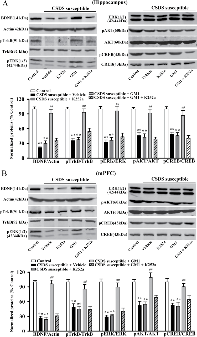 K252a treatment antagonizes the effects of monosialotetrahexosylganglioside (GM1) on brain derived neurotrophic factor (BDNF) signaling cascade in the chronic social defeat stress (CSDS) model. (A) Western blot data revealed that CSDS-susceptible + GM1 + K252a mice displayed significantly lower BDNF, pTrkB, pERK1/2, pAKT, and pCREB expression in the hippocampus than CSDS-susceptible + GM1 mice (n = 6). (B) Similarly, western blot data showed that CSDS-susceptible + GM1 + K252a mice also had significantly lower BDNF, pTrkB, pERK1/2, pAKT, and pCREB expression in the medial prefrontal cortex (mPFC) than CSDS susceptible + GM1 mice (n = 6). Data are expressed as the mean ± SEM; ** P