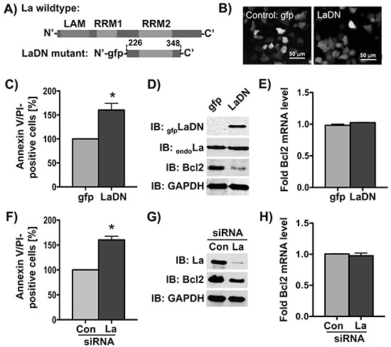 Bcl2 protein expression is reduced by siRNA-mediated La depletion or transient expression of La dominant negative (LaDN) mutant in cells A. Scheme of LaDN mutant compared to La wildtype containing three RNA-binding motifs: LAM, RRM1, and RRM2. B. Fluorescence microscopic image of gfp or LaDN mutant expression in living SCC 22B cells. La depletion in SCC 22B cells by C-E. transient expression of La dominant negative (LaDN) mutant or F-H. La-specific siRNA (La siRNA), results in increased cisplatin-induced apoptosis (Annexin/PI-positive cells) after cisplatin treatment with 24 μM for 24 hours, reduced Bcl2 protein expression (GAPDH = loading control), and unchanged Bcl2 mRNA level as determined by RT-qPCR analysis and normalized to GAPDH mRNA. Con = control siRNA. P value