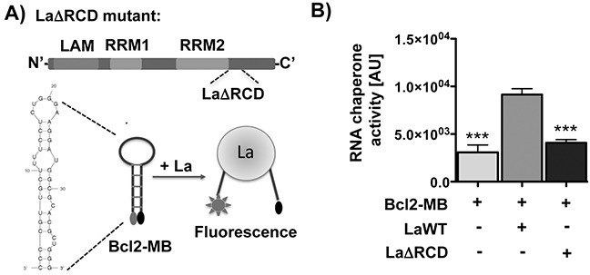 The RNA chaperone La assists structural changes of the Bcl2 translation start site in vitro A. The RNA chaperone domain (RCD) of La is mutated in LaΔRCD [ 21 ). RNA-binding motifs: LAM, RRM1, and RRM2. Scheme representing the RNA chaperone assay and the predicted structure of the Bcl2 RNA used as molecular beacon (Bcl2-MB). B. Differences in RNA chaperone activity given in relative fluorescence units (arbitrary units = AU) in the presence of 300 nM La wildtype protein (LaWT) compared to the molecular beacon (Bcl2-MB) alone or in presence of 300 nM recombinant La protein with mutated RNA chaperone domain (LaΔRCD). P value