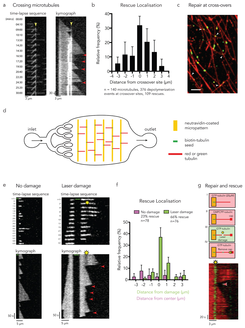 Microtubule self-repair induces rescue events in vitro. (a) Rescue at crossing microtubules. Time-lapse sequence of 3 microtubules crossing each other. The kymograph highlights the crossing sites (yellow arrow-head pointing at the bright white vertical lines) and the occurrence of multiple rescue events at this site (red arrow-heads). (b) The graph shows the frequency of rescue events for crossing microtubules as a function of distance from the crossing site. Data represent mean +/- s.d from n=8 independent experiments. (c) Repair at crossing microtubules. Observation of the incorporation of green tubulin dimers along red microtubules. White arrow-heads point at crossing sites where accumulation of green tubulin was detected. Image is representative of 3 independent experiments. Scale bar 5 µm. (d) Illustration of the microfluidic device. Short biotinylated microtubule seeds were fixed on neutravidin coated micropatterns and elongated using red or green free tubulin. To exchange or remove the solution of free tubulin, a flow was induced parallel to the microtubules. (e) Photo damage sites can induce rescue. The image sequences and kymographs show microtubule dynamics with (right) and without (left) laser-induced damage. The green arrows indicate the seed. Red arrow-heads indicate rescue events. (f) The graph shows the frequency of rescue events for photo damaged microtubules as a function of distance from the center of the damage (green bars) and for microtubules without damage as a distance from the center of the observed microtubule (magenta bars). Data represent mean values +/- s.d from n= 4 independent experiments. (g) Tubulin incorporation at photodamaged sites is associated with rescue. Green microtubule seeds were elongated with red free tubulin (step I). A GMPCPP cap was grown at the microtubule tip to avoid spontaneous depolymerization (step II). Photo damage was induced in the presence of green tubulin (step III). Depolymerization was initiated by removing