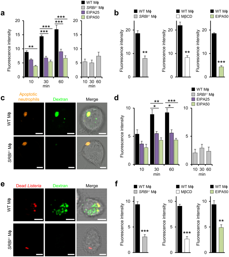 Local increases in membrane cholesterol levels regulate macropinocytic uptake of apoptotic cells and bacteria. ( a ) SR-BI-dependent uptake of macropinocytosis marker dextran. Internalization of 70 kDa dextran by WT (left) and SRBI −/− macrophages (right). Effect of EIPA (μM). n = 3, ten images per experiment. ( b ) SR-BI-induced engulfment of labeled apoptotic neutrophils by WT and SRBI −/− macrophages (left). Influence of MβCD and EIPA (μM). The fluoresence intensity refers to the internalized apoptotic cells. n = 3, ten images per experiment. ( c ) Colocalization of engulfed apoptotic neutrophils with dextran in macrophages. Confocal microscopy images. Scale bar, 5 μm. ( d ) Uptake of dead Listeria by WT (left) and SRBI −/− macrophages (right). Effect of EIPA (μM). n = 3, ten images per experiment. ( e ) Colocalization of incorporated dead bacteria with dextran in macrophages. Confocal microscopy images. Scale bar, 5 μm. ( f ) Influence of SR-BI on engulfment of labeled Listeria by macrophages (left). Influence of MβCD and EIPA (μM). n = 3 and n = 6 (middle panel), ten images per experiment. *P