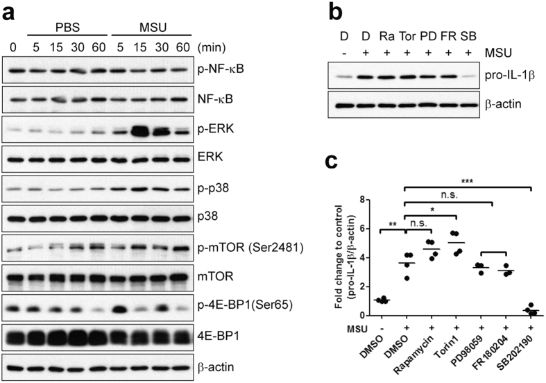 MSU crystal-induced production of pro-IL-1β is controlled by p38 MAP kinase signaling pathways. (a ) Human primary monocytes were stimulated with PBS or MSU crystals (400 μg/ml) for the indicated times. Phosphorylation of NF-κB, ERK, p38, mTOR, and 4E-BP1 was assessed in monocyte lysates by immunoblot analysis with phospho-specific and total protein-specific antibodies. ( b ) Monocytes were stimulated with MSU crystals in the presence of inhibitors: 50 nM rapamycin (Ra: allosteric mTOR inhibitor), 50 nM Torin1 (Tor: selective mTOR C1/2 inhibitor), 20 μM PD98059 (PD: a potent inhibitor of MEK1), 10 μM FR180204 (FR: selective ERK1/2 inhibitor), 5 μM SB202190 (p38α and β isoform selective inhibitor), and DMSO (D: vehicle control). Monocytes were pretreated with these inhibitors for 30 min prior to stimulation with MSU crystals for 60 min. Cell lysates were analyzed by immunoblot for the effect of the inhibitors on pro-IL-1β synthesis. Intensities between upper and lower blots were normalized to vehicle control (1 st lane). ( c ) The effect of the inhibitors on pro-IL-1β synthesis is presented as fold change compared with vehicle control (1 st lane). Values were normalized to β-actin. The scatter plots show the mean from three to four independent experiments with three to four different donors. N.S. indicates not significant, * p