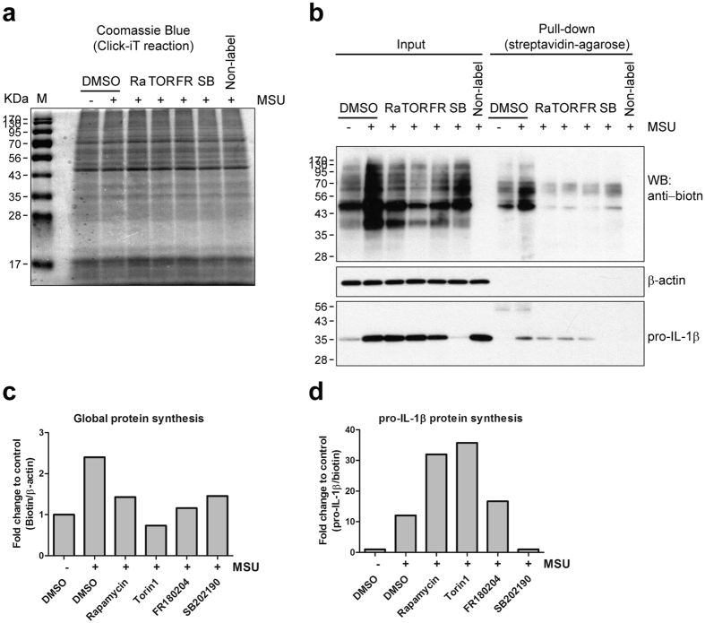 MSU crystal-stimulated pro-IL-1β protein synthesis is dependent on p38 MAPK, but not on mTOR. Click-iT ® Labeling and pull-down assay of biotinylated proteins was performed as previously described in Fig. 2 . Human monocytes were stimulated with MSU crystals for 60 min after 30 min pretreatment with inhibitors: Rapamycin (50 nM), Torin 1 (50 nM), PD98059 (20 μM), FR180204 (10 μM), SB202190 (5 μM), and DMSO (vehicle control). ( a ) Coomassie blue staining was used to analyze the amount of total proteins in each Click-iT-reacted sample after polyacrylamide gel electrophoresis. ( b ) Biotin-conjugated newly-synthesized proteins (Input) were collected by streptavidin-agarose (Pull-down) and the indicated proteins were examined by immunoblot analysis using streptavidin-HRP (upper panel) or anti-IL-1β antibody (lower panel). ( c , d ) The effect of the inhibitors on the synthesis of nascent global proteins ( c ) and pro-IL-1β protein ( d ) is presented as fold change compared with vehicle control (1 st lane). Global protein and pro-IL-1β protein were normalized to β-actin (Input) and total biotinylated protein (Pull-down), respectively. Data is representative of two independent experiments with two different donors.