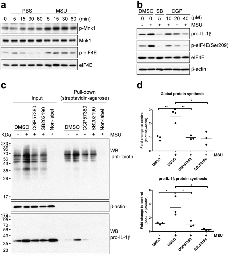Inhibition of Mnk1, a p38 MAPK substrate, suppresses MSU crystal-stimulated pro-IL-1β and global protein synthesis. ( a ) Human primary monocytes were stimulated with PBS or MSU crystals (400 μg/ml) for the indicated times. Phosphorylation of MnK1 and eIF4E were assessed in monocyte lysates by immunoblot analysis with phospho-specific and total protein-specific antibodies. Data is representative of two independent experiments with two different donors. ( b ) Human monocytes were pre-treated for 30 min with the indicated concentrations of CGP57380 (Mnk1 inhibitor), SB202190 (5 μM), or DMSO (vehicle) prior to stimulation with MSU crystals (400 μg/ml) for 60 min. Cell lysates were analyzed by immunoblot for the effect of the inhibitors on pro-IL-1β synthesis. The values between upper and lower blots were normalized to vehicle control (1 st lane). Data is representative of two independent experiments with two different donors. ( c ) Biotin-conjugated newly-synthesized proteins (Input) were collected using streptavidin-agarose (Pull-down) and the indicated proteins were examined by immunoblot analysis using streptavidin-HRP (upper panel) or anti-IL-1β antibody (lower panel). Data is representative of three independent experiments with three different donors. ( d ) The inhibitory effect of the CGP57380 on the synthesis of nascent global proteins and pro-IL-1β protein is presented as fold change compared with vehicle control (1 st lane). The values of global and pro-IL-1β proteins were normalized to β-actin (Input) and total biotinylated protein (Pull-down), respectively. The scatter plots show the mean of three independent experiments with three different donors. N.S. indicates not significant, * p