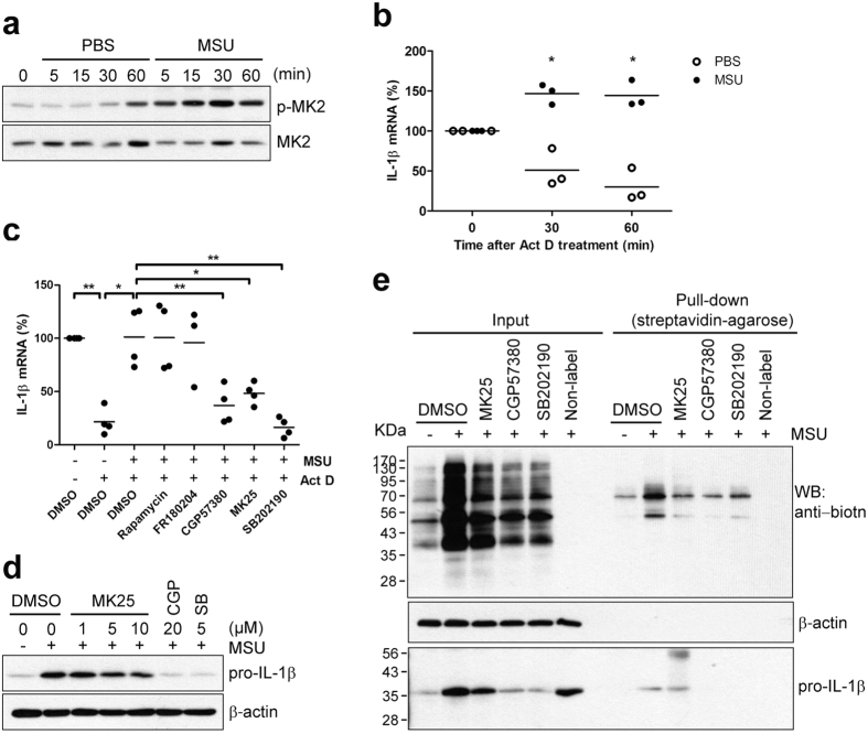 MSU crystals increase pro-IL-1β mRNA stability, which is controlled by p38 MAPK signaling pathway via MK2. ( a ) Human primary monocytes were stimulated with PBS or MSU crystals (400 μg/ml) for the indicated times. Phosphorylation of MK2 was assessed in monocyte lysates by immunoblot analysis with phospho-specific and total protein-specific antibodies. ( b ) Cells were treated with Act D (2.5 μg/ml) prior to stimulation with MSU crystals (400 μg/ml) or PBS for the indicated times. RNA was isolated from the monocytes and the level of pro-IL-1β transcription was determined using SYBR green qPCR. The level of the pro-IL-1β mRNA before treatment with Act D and MSU crystals was considered as 100%. Human GAPDH was used for normalization. The scatter plots show the mean in triplicate from three ndependent experiments with three different donors. ( c ) The effect of inhibitors including Rapamycin (50 nM), FR180204 (10 μM), CGP57380 (Mnk1 inhibitor, 20 μM), MK25 (MK2 inhibitor, 10 μM), and SB202190 (5 μM) on pro-IL-1β mRNA stability is presented as the % change compared with vehicle control (1 st lane). The scatter plots show the mean in triplicate from three to four independent experiments with three to four different donors. ( d ) Human monocytes were pre-treated for 30 min with the indicated concentrations of MK25 (MK2 inhibitor), CGP57380 (Mnk1 inhibitor), SB202190, or DMSO (vehicle) prior to stimulation with MSU crystals (400 μg/ml) for 60 min. Cell lysates were analyzed by immunoblot for pro-IL-1β production. The graph shows the mean ± SEM in triplicate from three independent experiments with three different donors. ( e ) Biotin-conjugated newly-synthesized proteins (Input) were collected using streptavidin-agarose (Pull-down) and the indicated proteins were examined by immunoblot analysis using streptavidin-HRP (upper panel) or anti-IL-1β antibody (lower panel). Blots are two independent experiments with two different donors. * p