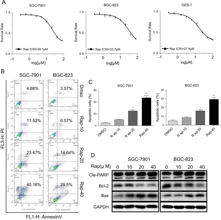 Rapamycin causes cytotoxicity inhuman gastric cancer cells and normal cells. ( A ) Cytotoxic effect of rapamycin in human gastric cancer cells and normal GES-1 cells as assessed by cell viability. SGC-7901, BGC-823 and GES-1 cells were incubated with increasing doses of rapamycin (0.31–100 μM) for 24 h. Cell viability was determined by MTT assay. ( B ) Induction of apoptosis in human gastric cancer cells was determined by Annexin V/PI flow cytometry following treatment with rapamycin (10, 20 or 40 μM) for 24 h. ( C ) Quantification of apoptotic cells presented as percent total [*p