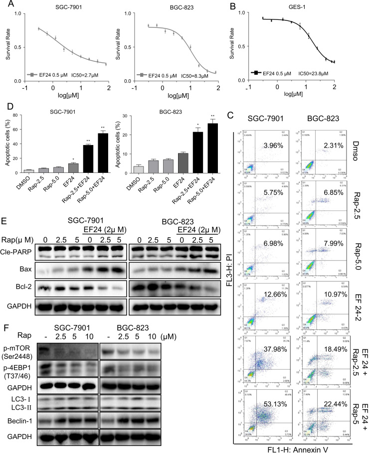 EF24 enhances the anti-tumor activity of rapamycin in gastric cancer cell lines. ( A-B ) SGC-7901,BGC-823 and GES-1 cells were pretreated with 0.5 μM EF24 and then exposed to increasing doses of rapamycin (0.31–100 μM) for 24 h. Cell viability was determined by MTT assay. ( C ) EF24 enhances rapamycin-induced apoptosis in SGC-7901 and BGC-823 cells as assessed by AnnexinV/PI staining. ( D ) Quantification of apoptotic cells [*p