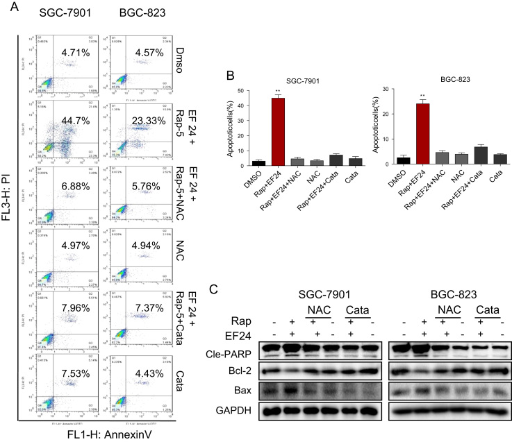 Synergistic effect rapamycin and EF24 is dependent on ROS generation. ( A ) NAC or catalase pretreatment normalized the synergistic effect of rapamycin and EF24 in SGC-7901 and BGC-823 cells. Cells were pretreated with 5 mM NAC or 2000 U/mL catalase for 2 h before exposure to the combination treatment of rapamycin and EF24 for 24 h. Apoptotic cells were determined by AnnexinV/PI staining. ( B ) Quantification of Annexin V/PI flow cytometry data [*p