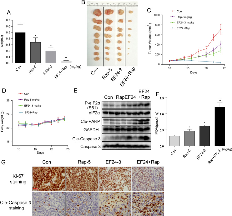 EF24 enhances the anti-tumor activity of rapamycin in human gastric cancer xenografts. SGC-7901 cells were injected in nude mice. Mice were then treated with rapamycin, EF24, or a combination of both. Figure showing tumor weight ( A ) and tumor volume ( B and C ) [*p