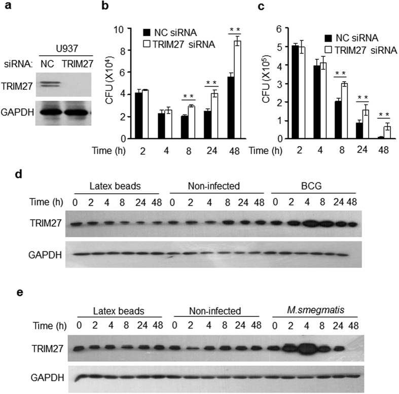 TRIM27 restricts the intracellular survival of mycobacteria. ( a ) The protein levels of TRIM27 were analyzed by immunoblot analysis in U937 cells transfected with luciferase siRNA (NC) or TRIM27 siRNA. ( b,c ) Survival of BCG ( b ) and M. smegmatis ( c ) in U937 cells infected with BCG or M. smegmatis at a MOI of 10 for 0–48 h. Non-infected cells were used as a control. ( d,e ) The levels of TRIM27 were examined in U937 cells infected with BCG ( d ) or M. smegmatis ( e ) at a MOI of 10 for 0–24 h. Non-infected cells and cells treated with latex beads served as control groups. Data are shown as the means ± s.e.m. * P