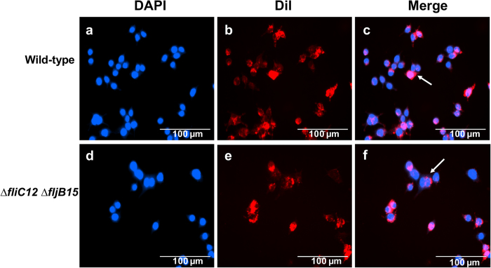 Internalization of OMVs by RAW264.7 macrophage cells. OMVs (2 μg/ml final concentration) were incubated with cells for 12 hours. OMVs were stained by 1% (vol/vol) lipophilic fluorophore dialkylcarbocyanine iodide (Dil) (red), and the nuclei (blue) were stained by DAPI. The results were recorded using an AMG EVOS digital inverted multi-functional microscope (AMG) at 100x magnification. Arrows indicate the internalization of OMVs derived from S. Typhimurium by macrophages.