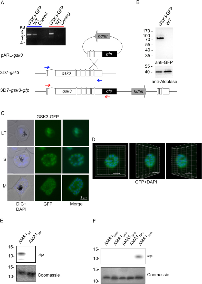T 613 is phosphorylated by GSK3. ( A–D ) Expression and localization of Pf GSK3 and its PKA dependent phosphorylation of AMA1. ( A ) Schematic drawing of the GSK3-GFP 3′replacement approach in 3D7 parasites and diagnostic PCR revealing plasmid integration. The gsk3 gene has a six exon structure and an open reading frame of 2472 base pairs. Approximately 1 kb of the 3′ end was fused with the coding sequence of GFP (black) and cloned into a pARL derivate (pARL-gsk3-3'repl-gfp). The human dihydrofolate reductase (hDHFR, grey box) of the plasmid allowed selection of transgenic parasites. Position of oligonucleotides used for diagnostic PCR are shown with blue and red arrows. Sizes are indicated in kilo bases (kb). ( B ) Expression of Pf GSK3-GFP in late stage parasites was analyzed by Western blot analysis using anti-GFP specific antibodies. Anti-Aldolase specific antibodies were used as a loading control. ( C , D ) Epifluorescence ( C ) and confocal ( D ) localization of Pf GSK3-GFP in late trophozoites (LT) schizonts (S) and merozoites (M) revealed perinuclear and cytosolic distribution. Nuclei are stained with DAPI (blue). Scale bars, 2 μm. E. SDS-PAGE and autoradiograph of in vitro phosphorylation samples (upper panel) as well as coomassie stained loading (lower panel) of AMA1 WT and AMA1 PM incubated with human GSK3β (hGSK3β). ( F ) Differential in vitro phosphorylation of AMA1 variants with single phosphorylation sites (AMA1 S588 , AMA1 S601 , AMA1 S610 , AMA1 T612 , AMA1 T613 ) by hGSK3β. SDS-PAGE and autoradiograph of the in vitro phosphorylation samples (upper panel) as well as coomassie stained loading (lower panel) are shown.