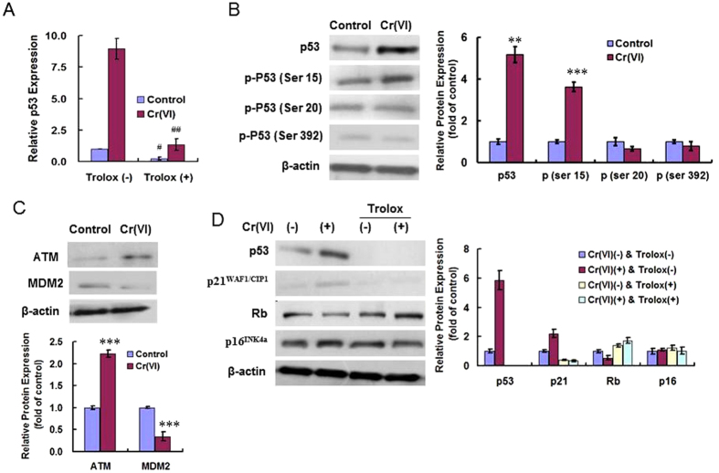 ROS mediated <t>p53</t> activation in Cr(VI)-induced premature senescence. ( A ) p53 gene expression was determined by real-time PCR in both control and Cr(VI) treatment group with or without Trolox pre-treatment. Data was expressed as 2 −ΔΔCt using the p53 expression in the control group [Cr(VI) (−), Trolox (−)] as reference (a 2 −ΔΔCt value of 1). p values: control, 0.0235; Cr(VI), 0.0077; Trolox (+) compared with Trolox (−). ( B ) Cell lysates were collected for western analysis using specific antibodies. p values: p53, 0.0011; p (ser 15), 0.0007. ( C ) The protein levels of ATM and MDM2 were examined using Western blotting. p values: ATM, 0.0000; MDM2, 0.0004. ( D ) Western blotting was done to analyze senescence pathways. # p