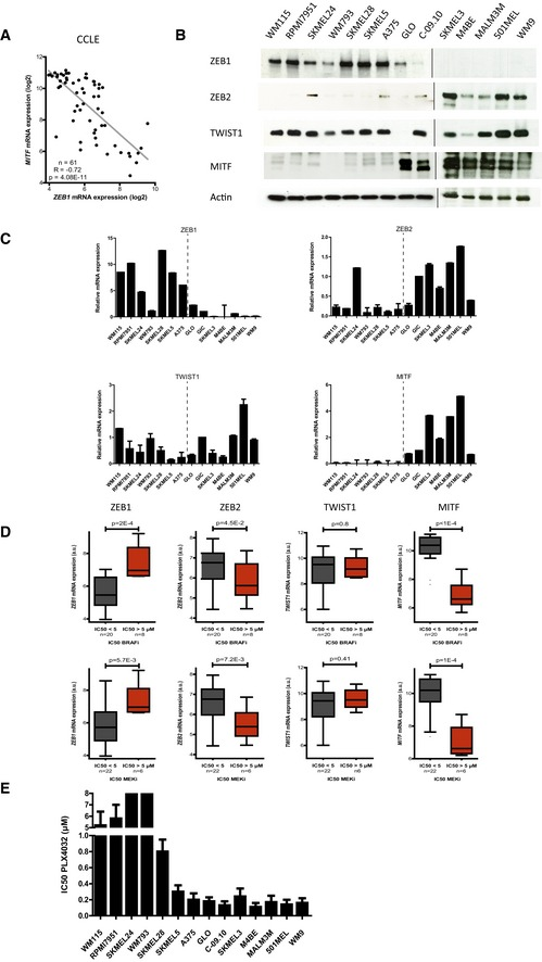 High levels of ZEB 1 expression are correlated with low MITF levels and are associated with inherent resistance to MAPK i in BRAF V 600 ‐mutated melanoma cell lines MITF mRNA expression according to ZEB1 expression levels in 61 melanoma cell lines available through the CCLE (Pearson correlation test). ZEB1, ZEB2, TWIST1, and MITF expression in a panel of BRAF V600 ‐mutated melanoma cells assessed by Western blot. GLO and C‐09.10 cells are patient‐derived short‐term cultures. Actin was used as a loading control. Quantitative PCR analyses of ZEB1 , ZEB2 , TWIST1, and MITF in the same panel of cell lines. mRNA expression levels are represented relative to C‐09.10 cells, in which the levels were arbitrarily fixed at 1 ( n = 3, mean ± SD). The dotted line separates ZEB1 high (left) and ZEB1 low (right) cell lines. ZEB1 , ZEB2 , TWIST1 , and MITF mRNA expression according to the IC 50 of the drug (μM) administered (BRAFi/MEKi), in melanoma cell lines from the CCLE ( n = 28) (Tukey box plot, Student's t ‐test). High ZEB1 , low ZEB2 , and low MITF expression levels were correlated with BRAFi (PLX4720) and MEKi (AZD6244) resistance. PLX4720 is an analog of PLX4032. IC 50 values of PLX4032 (μM) in the panel of BRAF V600 melanoma cells as determined by ATP assay ( n = 3, mean ± SD). For SKMEL24 and WM793, IC 50 was > 8 μM. Source data are available online for this figure.