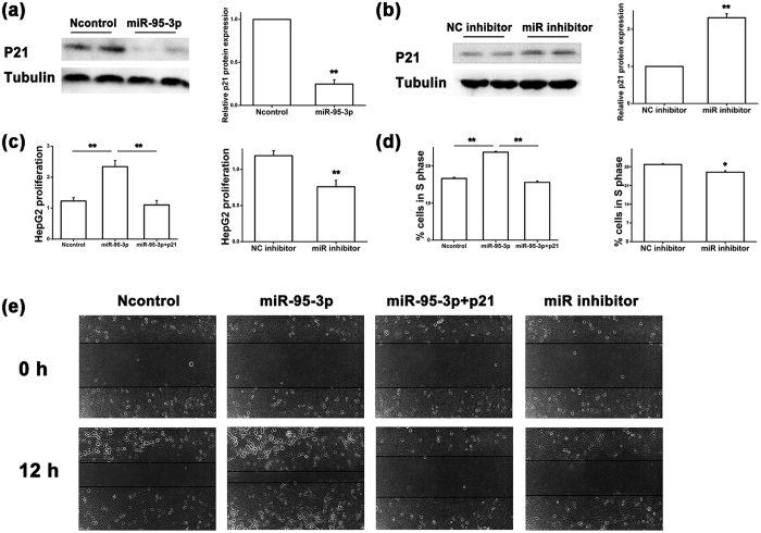 MiR-95-3p inhibits expression of p21 at the translational level and promotes HepG2 tumor cell proliferation and migration. ( a ) Western blot analysis for the expression level of the p21 protein in HepG2 cells transfected with miR-95-3p mimics compared with negative control miRNA mimics (Ncontrol). The Western blot images are shown at the left, quantified and graphed at the right. β-tubulin was used as a loading control. ( b ) Similar Western blot analysis as in ( a ) but with a miR-95-3p inhibitor vs. a negative control miRNA inhibitor (NC inhibitor). ( c ) Proliferation of HepG2 cells transfected with miR-95-3p mimics alone or with a p21 expression plasmid vs. Ncontrol mimics, and miR-95-3p inhibitor vs. NC inhibitor. ( d ) Percentage of cells at the S phase during cell cycle in HepG2 cells transfected with miR-95-3p mimics alone or with a p21 expression plasmid vs. Ncontrol mimics, and miR-95-3p inhibitor vs. NC inhibitor. ( e ) Migration of HepG2 cells transfected with miR-95-3p mimics alone or with a p21 expression plasmid, Ncontrol mimics, and miR-95-3p inhibitor using a wound assay.