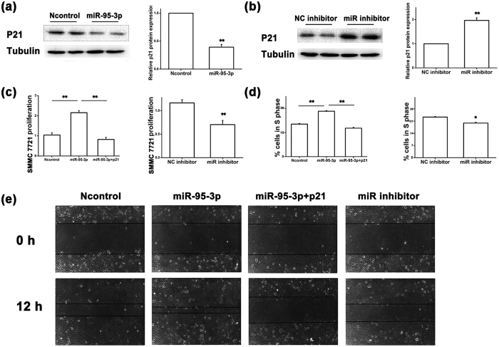 MiR-95-3p inhibits expression of p21 at the translational level and promotes SMMC7721 tumor cell proliferation and migration. ( a ) Western blot analysis for the expression level of the p21 protein in SMMC7721 cells transfected with miR-95-3p mimics compared with negative control miRNA mimics (Ncontrol). The Western blot images are shown at the left, quantified and graphed at the right. β-tubulin was used as a loading control. ( b ) Similar Western blot analysis as in ( a ) but with a miR-95-3p inhibitor vs. a negative control miRNA inhibitor (NC inhibitor). ( c ) Proliferation of SMMC7721 cells transfected with miR-95-3p mimics alone or with a p21 expression plasmid vs. Ncontrol mimics, and miR-95-3p inhibitor vs. NC inhibitor. ( d ) Percentage of cells at the S phase during cell cycle in SMMC7721 cells transfected with miR-95-3p mimics alone or with a p21 expression plasmid vs. Ncontrol mimics, and miR-95-3p inhibitor vs. NC inhibitor. ( e ) Migration of SMMC7721 cells transfected with miR-95-3p mimics alone or with a p21 expression plasmid, Ncontrol mimics, and miR-95-3p inhibitor using a wound assay.
