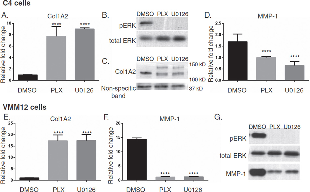 MAPK inhibition induces collagen synthesis in human melanoma cells. C4 or VMM12 cells were plated on 6-well plates at a density of 0.5 × 10 5 cells per well and treated the following day with 0.3 µl/ml DMSO, 3 µM PLX4032 (PLX) or 10 µM U0126 for 48 h. (A) RT-PCR of Col1A2 expression in mRNA from C4 cells. Fold change was calculated relative to cells treated with DMSO. Immunoblots probing for (B) pERK and total ERK (6 µg protein) and (C) Col1A2 and a non-specific band (22 µg protein) in C4 cell lysates. Pre-pro-collagen (upper band) and pro-collagen (lower band) are found between 150 kD–100 kD (after 1 min exposure), the non-specific band was found at 37 kD (after 15 min exposure). (D) RT-PCR of MMP-1 in cDNA from C4 cells. Fold change was calculated relative to cells treated with PLX. Expression of mRNA in VMM12 cells, (E) Col1A2 and (F) MMP-1, fold change was calculated as above. (G) Immunoblots of pERK and total ERK (top two panels — 6 µg protein) in VMM12 cell lysates, and (bottom panel) immunoblot of MMP-1 in VMM12 cell supernatants from the same serum-free culture (30 µl of TCA precipitate). One-way ANOVAs were performed on the relative fold changes compared to DMSO controls, data were pooled from 3 separate experiments (****P