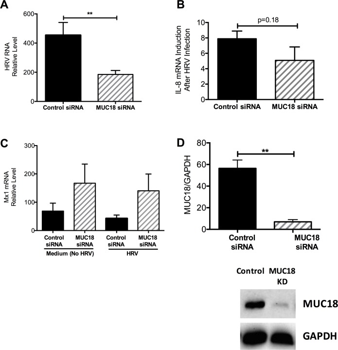 Reduced viral load and IL-8 induction in human airway epithelial cells with MUC18 knockdown (KD). Tracheobronchial epithelial cells from three donors (n = 3 replicates per donor) were transfected with control or MUC18 siRNA and then treated with culture medium (–) or HRV for 2 hours. Cells were harvested 24 hours post infection. Viral load was significantly lower in MUC18 KD cells compared to control (A). Expression of the antiviral gene MX1 was similar between KD and control cells (B). There was less induction of the pro-inflammatory cytokine, IL-8, in MUC18 KD samples compared to control (C) , but was not statistically significant. Successful knockdown of MUC18 was confirmed via Western Blot and densitometry (D) in cells after 24 hours of MUC18 or control siRNA transfection. Data are presented as means ± SEMs. A single star (*) indicates p
