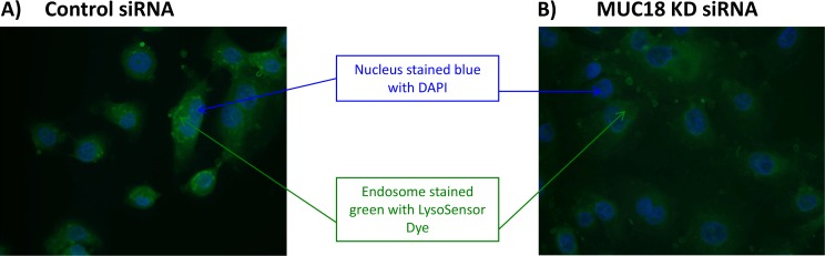 Fluorescent Green Dye to indicate endosome acidity in human tracheobronchial epithelial cells infected with rhinovirus 1B. Tracheobronchial epithelial cells from donors were seeded onto cover slips and transfected with control or MUC18 siRNA and infected with culture medium (–) or HRV-1B for 2 hours. 30 minutes prior to the end of infection, LysoSensor Dye was added to the cultures. Cover slips were removed and stained with DAPI to indicate the nucleus and mounted onto microscope slides. Control siRNA cells were more green, indicating a lower pH (A) and cells transfected with MUC18 siRNA were less green, indicating a higher pH (B) .