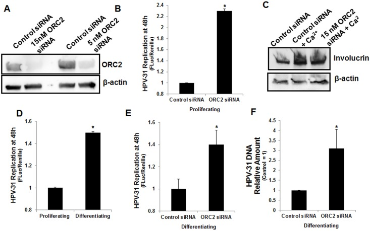 ORC2 silencing enhanced PV replication in proliferating and differentiating CIN612-9E cells. (A) ORC2 siRNA duplexes decreased ORC2 protein levels at a concentration of 15 or 5 nM after 48 h. (B) CIN612-9E cells were transfected with RLuc and pFLORI31. 48h later cells were lysed and luciferase activity measured. Values are expressed as mean +/- SEM. * p-value ≤ 0.05. (C) CIN612-9E cells were transfected with 15 nM ORC2 and differentiated in 10% FBS DMEM + 2 mM CaCl 2 for 48h. Involucrin and β-actin levels were analyzed. (D) CIN612-9E cells were transfected with RLuc and pFLORI31. Five hours later, the transfection was removed and cells were placed in either E-medium or 10% FBS DMEM + 2 mM CaCl 2 . 48h later cells were lysed and luciferase activity measured. Values are expressed as mean +/- SEM. * p-value ≤ 0.05. (E) CIN612-9E cells were transfected with 15 nM control or ORC2 siRNAs, RLuc and pFLORI31. Five hours later, the transfection was removed and cells were placed in 10% FBS DMEM + 2 mM CaCl 2 . 48h later cells were lysed and luciferase activity measured. Values are expressed as mean +/- SEM. * p-value ≤ 0.05. (F) CIN612-9E cells were transfected with 15 nM control or ORC2 siRNAs and placed in 10% FBS DMEM + 2 mM CaCl 2 for 72 h. DNA was isolated and HPV-31 DNA content was measured by RT-PCR and normalized to β-actin levels. The ORC2 siRNA group was normalized to the control siRNA group (control siRNA = 1). Values are expressed mean +/-. * p-value ≤ 0.05.