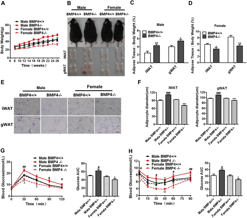 Adiposity and glucose metabolism of BMP4 knockout mice. (A) Growth curve of BMP4 knockout and wild type control mice on HFD from 8 to 26 weeks. n = 6. (B) Representative pictures of mice and fat pads of BMP4 knockout (left panel) and control mice (right panel). (C, D) Fat index (percentage of fat pad weight to the whole body weight) of inguinal WAT and gonadal WAT in BMP4 knockout and control male (C) and female (D) mice. n = 8. (E) H E staining of inguinal WAT and gonadal WAT from BMP4 knockout and control mice. Scale bar: 25 μm. (F) Quantification of adipocyte diameter of inguinal WAT, gonadal WAT and BAT from BMP4 knockout and control mice. (Data were collected using Image J software from H E staining section of 3 individual mice, 5 fields per mouse, 10–15 cells per field in each group). (G) Glucose concentrations during an intraperitoneal glucose tolerance test (I) (n = 8) and quantification of AUG (area under curve) from BMP4 knockout and control mice. n = 6–9. (H) Glucose concentrations during an intraperitoneal insulin tolerance test (n = 7) and quantification of AUG from BMP4 knockout and control mice. n = 6–10. BMP4 +/+: wild type control; BMP4 −/−: BMP4 knockout. Data are collected from mice on HFD at age of 6 months except indicated, and expressed as means ± SEM, *p