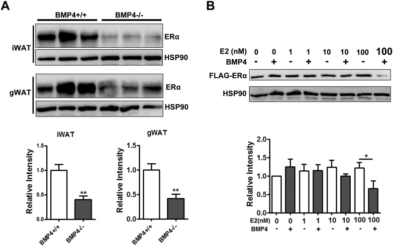 <t>BMP4</t> regulation of ERα depends on levels of estrogens. (A) Western blotting analysis of ERα expression level in adipose tissue from male BMP4 knockout and control mice on HFD at age of 6 months. Relative grey intensity of the band was quantified using Image J software. n = 6. (B) Multipotent C3H10T1/2 cells stably expressing ERα-Flag were induced to differentiation and treated with 20 ng/ml BMP4 in presence of estradiol at different concentration for 12 h, and the protein level of ERα was examined with anti-Flag antibody by Western blot. Relative grey intensity of the band from 4 individual experiments was quantified using Image J software.