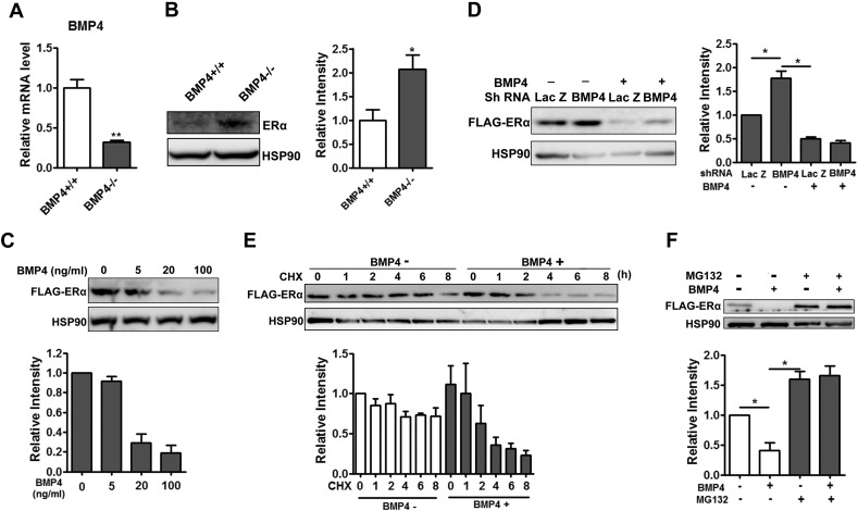 BMP4 knockout Increased protein stability of ERα in adipocytes. (A) Preadipocytes isolated from adipose tissue of female BMP4 knockout and control mice were stimulated to adipogenesis. Differentiated adipocytes were maintained for more 12 h in presence of 100 nM estradiol, and RT-qPCR analysis of BMP4 expression level. (B) Western blotting analysis of ERα expression level in differentiated adipocyte indicated in A. (C) Differentiated multipotent C3H10T1/2 cells stably expressing FLAG tagged ERα were treated with BMP4 at different concentration in presence of 100 nM estradiol for 12 h, and the level of ERα was examined with anti-Flag antibody by Western blot. (D) Multipotent C3H10T1/2 cells stably expressing ERα-FLAG were induced to differentiation and at day 4 and cells were infected with adenovirus expressing BMP4 shRNA and control Lac Z sh, the of ERα was examined with anti-Flag antibody by Western blot 48 h after infection. (E) Differentiated adipocytes from C3H10T1/2 cells stably expressing ERα-FLAG treated with or without of BMP4 were incubated with cycloheximide (20 μM) for the indicated times and ERα was examined by Western blot. (F) Differentiated C3H10T1/2 cells pretreated with cycloheximide (20 μM) and incubated with combination of 20 ng/ml BMP4 and 25 μM MG132 for 8 h. ERα was examined by Western blot. For Western blot, relative grey intensity of the band from three individual experiments was quantitated using Image J software.
