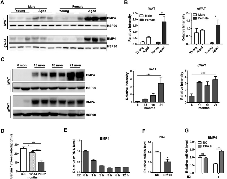 Decreased level of estrogens up regulates BMP4 expression in adipose tissue. (A) Western blotting analysis of ERα expression level in inguinal and gonadal white adipose tissue from young (6 months old) and (22 months old) old female mice. (B) Relative grey intensity of the band showed in A quantitated using Image J software. n = 3–4. (C) Western blotting analysis of BMP4 expression level in inguinal and gonadal white adipose tissue from female mice at indicated ages. Relative grey intensity of the band was quantitated using Image J software. n = 4. (D) Serum 17β-estradiol level showed by Elisa in female mice at indicated ages. n = 4–8. (E) RT-qPCR analysis for expression of BMP4 in differentiated adipocytes from primary isolated preadipocytes treated with estradiol (100 ng/ml). (data from three independent experiments). (F) ERα expression level showed by RT-qPCR in adipocytes with ERα SiRNA transfection (data from three independent experiments). (G) Relative expression level of BMP4 showed by RT-qPCR in differentiated adipocytes (data from three independent experiments). BMP4 +/+: wild type control; BMP4 −/−: BMP4 knockout.