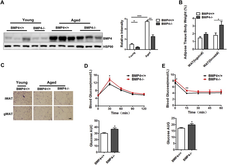 Aged BMP4-knockout female mice are prone to developing obesity and insulin resistance. (A) Western blotting analysis of BMP4 expression level in gonadal white adipose tissue from BMP4 knockout and control mice at different ages. Relative grey intensity of the band was quantitated using Image J software. n = 6. (B) Fat index of inguinal WAT and gonadal WAT in aged BMP4 knockout and control mice. n = 6–7. (C) H E staining of inguinal WAT and gonadal WAT from BMP4 knockout and control mice. Scale bar: 20 μm. (D) Glucose concentrations during an intraperitoneal glucose tolerance test and quantification of AUG (area under curve) from aged BMP4 knockout and control mice. n = 7. (E) Glucose concentrations during an intraperitoneal insulin tolerance test and quantification of AUG from aged BMP4 knockout and control mice. n = 6. Data are collected from mice on NC at age different ages (Young: 6 months; Aged 22 months), and expressed as means ± SEM, *p