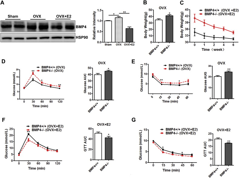 Estradiol reduced obesity and insulin resistance of ovariectomized female BMP4-knockout mice. WT and KO female mice at age of 2 months were ovariectomized and maintained for 8 weeks to deplete ovarian steroid hormone, followed by ip administration of estradiol for 6 weeks. (A) Western blotting analysis of BMP4 expression level in WAT. Relative grey intensity of the band was quantitated using Image J software. n = 4. (B) Body weight of BMP4 knockout and control mice after ovariectomized. n = 4. (C) Change of body weight of ovariectomized female mice during the period of estradiol administration. n = 4. (D) Glucose concentrations during an intraperitoneal glucose tolerance test (n = 8) and quantification of AUG (area under curve) from ovariectomized BMP4 knockout and control mice. n = 6. (E) Glucose concentrations during an intraperitoneal insulin tolerance test (n = 7) and quantification of AUG from ovariectomized BMP4 knockout and control mice. n = 6. (F) Glucose concentrations during an intraperitoneal glucose tolerance test (n = 8) and quantification of AUG (area under curve) from ovariectomized BMP4 knockout and control mice treated with estradiol. n = 6. (G) Glucose concentrations during an intraperitoneal insulin tolerance test (n = 7) and quantification of AUG from ovariectomized BMP4 knockout and control mice treated with estradiol. n = 6.