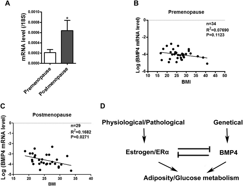The correlation between BMP4 level and body mass index (BMI) dependents on activation of estrogen/ERα. (A) Real-time PCR determined the BMP4 mRNA level in subcutaneous WAT of pre and post-menopausal women. (B C) Linear regression analysis between BMI and BMP4 mRNA level in subcutaneous adipose tissue of premenopausal and postmenopausal women. (D) Schematic Model: Counterbalance between BMP4 and estrogen/ERα signaling in adipose tissue development and energy metabolism.