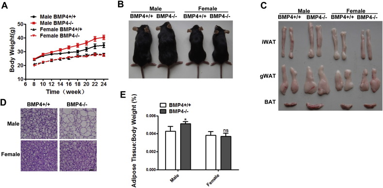 Phenotype of BMP4 knockout (BMP4 −/−) and control (BMP4 +/+) mice of different gender. (A) Growth curve of BMP4 knockout (BMP4 −/−) and control (BMP4 +/+) mice from 8 to 24 weeks. n = 8. (B) Comparison of BMP4 knockout and control mice of different gender. (C) Comparison of adipose tissue from BMP4 knockout and control mice of different gender. (D) Hematoxylin and eosin staining of liver from BMP4 knockout and control mice on HFD. Scale bar: 25 μm. (E) Fat index (percentage of fat pad weight to the whole body weight) of BAT in BMP4 knockout and control male (C) and female (D) mice. n = 8. Data were collected from mice on normal chow diet and expressed as means ± SEM, *p