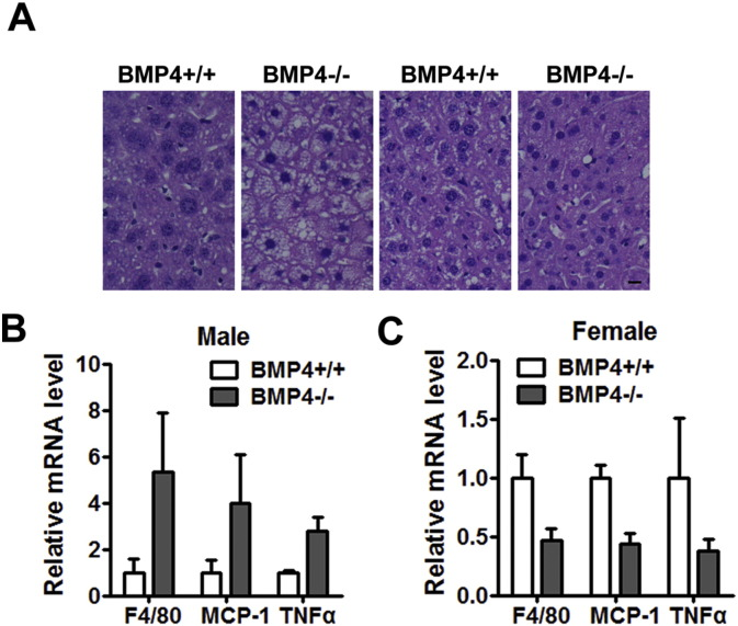 Disruption of BMP4 expression prevent female mice from fatty liver and inflammation in adipose tissue. (A) Hematoxylin and eosin staining of liver from BMP4 knockout and control mice on HFD. Scale bar: 25 μm. (B) RT-qPCR analysis of adipose tissue for expression of inflammatory factors in visceral WATfromBMP4 knockout and control male mice. n = 4. (C) RT-qPCR analysis of adipose tissue for expression of inflammatory factors in visceral WAT fromBMP4 knockout and control male mice. n = 4.