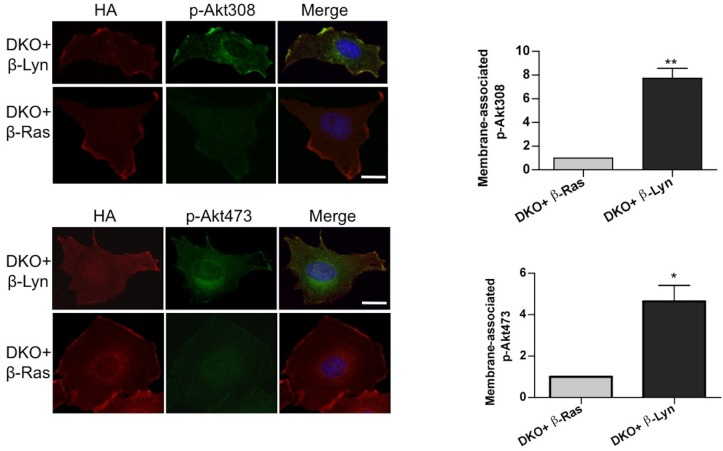 Raft-excluded p110β fails to induce activatory Akt phosphorylation upon GPCR stimulation. Indicated DKO add-back MEFs were seeded on coverslips, starved and stimulated with LPA; membrane associated Akt phosphorylation at T308 and S473 was detected using anti-p-Akt T308 and p-Akt S473 antibodies (green). Anti-HA antibodies (red) depicted expression levels of the add-back vectors. DNA is shown in blue. Scale bar; 20 µm. On the right, anti-p-Akt T308 and S473 signals on the cell membrane was quantified upon LPA stimulation and the relative corrected total membrane fluorescence was depicted. Results denote mean of 3 independent experiments with standard deviation. * p