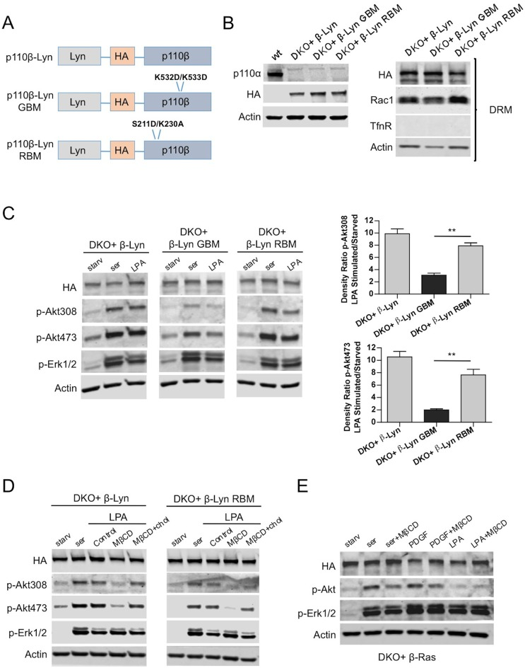 Raft targeting of Rac1-binding deficient p110β rescues Akt activation in GPCR signaling. ( A ) Schematic demonstration of p110β-Lyn domain membrane targeting vectors. ( B ) Lysates from the indicated MEFs were processed and analyzed for expression of p110α and β. On the right, DKO MEFs expressing the indicated p110β alleles were fractionated into soluble, triton sensitive and triton resistant fractions. Triton resistant fractions were analyzed in immunoblots; anti-HA antibodies were used to visualize the abundance of the p110β variants in those fractions. Anti-Rac1 antibody was used to demonstrate raft enrichment, whereas anti-TfnR immunoblot depicts contamination with nonraft membranes. Anti-actin immunoblot serves as loading control. ( C ) The indicated add-back MEFs were starved and stimulated with serum or LPA. Anti-p-Akt immunoblots on T308 and S473 display level of Akt activation and anti-p-Erk1/2 antibodies (for T202/Y204) depicts activation of MAPK pathway. On the right, density ratios of the normalized fold-increase in baseline Akt phosphorylation at T308 and S473 in starved vs. LPA stimulated states were quantified (mean of 3 independent experiments with standard deviation). ** p