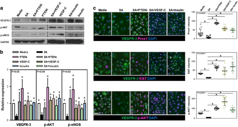 Exposure of LECs to SA in vitro downregulates expression of VEGFR-3 and its downstream mediators. ( a , b ) Representative western blot images ( a ) for VEGFR-3, p-AKT, p-eNOS and quantification ( b ) normalized to GAPDH expression of total cellular protein harvested from LECs treated with 1 μ m SA, 10 μ m SA+0.3 n m PTENi, PTENi (0.3 n m ), SA+100 ng ml −1 VEGF-C, VEGF-C (100 ng ml −1 ), SA+100 n m insulin or insulin (100 n m ) ( n =4–5/group, * P