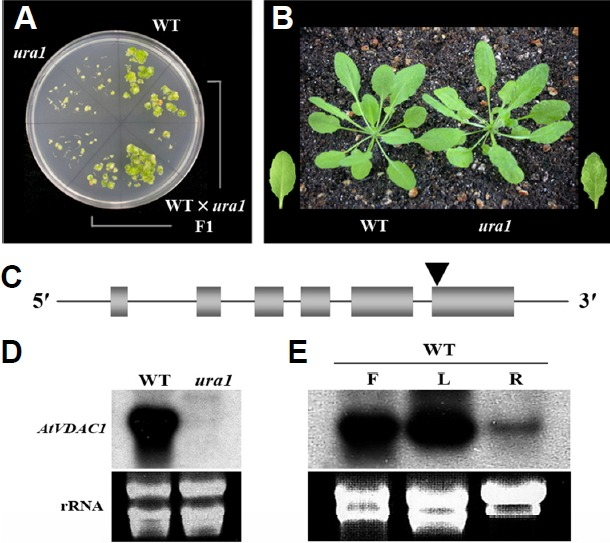 Characterization of ura1 mutants resistant to oncogenic Agrobacterium tumefaciens A208. (A) Sterile root segments of wild-type (WT), ura1 mutant, and F1 progeny plants were infected with A. tumefaciens A208 (OD 600 = 1.0). After 2 days co-cultivation, tumors were induced on MS basal medium containing carbenicillin (100 μg/ml) for 4 weeks. (B) Phenotypes of 4-week-old WT and ura1 mutant plants. Leaf variegation showing pale green area is associated with the ura1 mutation. (C) Genomic organization of the AtVDAC1 locus composed of six-exons (grey boxes) and a T-DNA (black triangle) insertion site at the 6th exon of the AtVDAC1 gene leading to the ura1 mutant. (D) Expression of AtVDAC1 in WT and ura1 mutant plants. (E) Organ-specific expression of AtVDAC1 . rRNA was used as a loading control. F, flowers; L, leaves; R, root tissue.