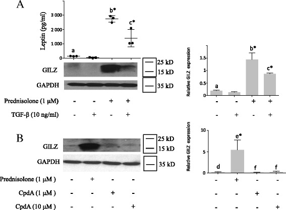 Transforming growth factor-β ( TGF-β ) decreased both prednisolone-induced leptin secretion and glucocorticoid-induced leucine zipper ( GILZ ) expression; Compound A ( CpdA ) did not induce GILZ expression. Human osteoarthritis (OA) synovial fibroblasts were stimulated for 5 days with prednisolone, TGF-β ( A ), or CpdA ( B ). Leptin expression was measured in the cell culture supernatants by ELISA. GILZ and glyceraldehyde 3-phosphate dehydrogenase ( GAPDH ) expression in whole-cell extracts was analyzed by western blotting. Right panels , quantification results of western blots shown in the left panels . Protein levels were normalized to GAPDH. Graphs represent mean +/- SD (n = 3 patients). b *Significantly different from a ; c *significantly different from b ; e*significantly different from d ; f not significantly different from d
