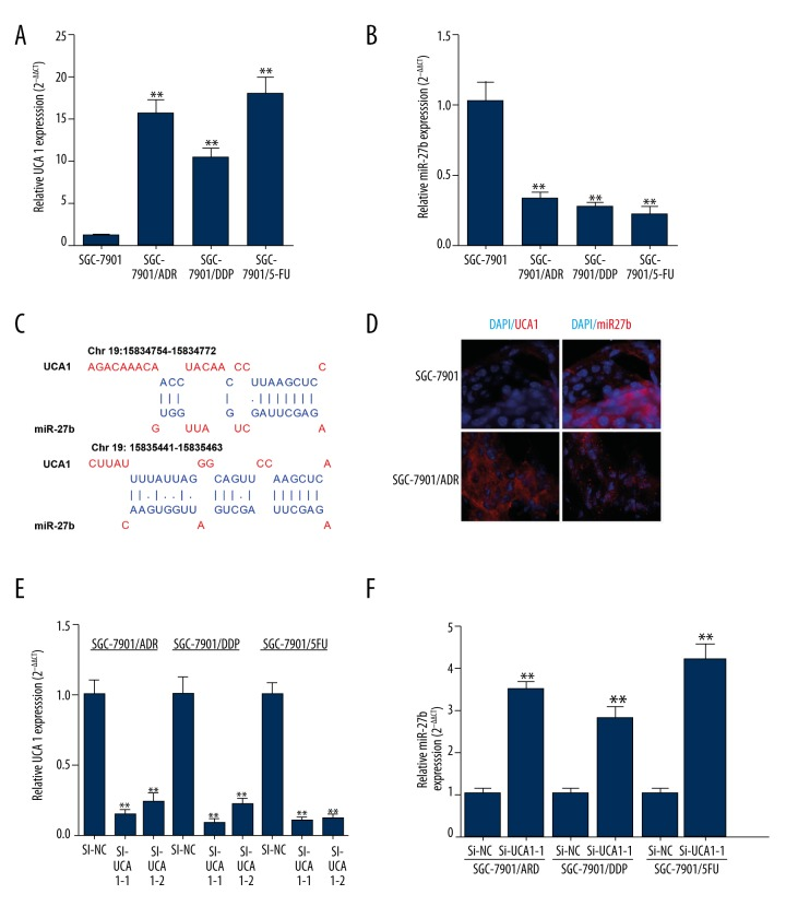 Knockdown of UCA1 restores miR-27b expression in the MDR gastric cancer cells. ( A, B ) QRT-PCR analysis of UCA1 expression ( A ) and miR-27b ( B ) expression in SGC-7901 cells, and SGC-7901 derived SGC-7901/ADR, SGC-7901/DDP, and SGC-7901/5-FU cells. ( C ) Predicted binding sites between UCA1 and miR-27b. ( D ) Fluorescence in situ hybridization experiments show that UCA1 and miR-27b (red) display opposite expression levels in SGC-7901 and SGC-7901/ADR cells. ( E, F ) QRT-PCR analysis of UCA1 expression ( E ) and miR-27b ( F ) expression in SGC-7901/ADR, SGC-7901/DDP, and SGC-7901/5-FU cells with or without the transfection of UCA1 siRNA. ** p