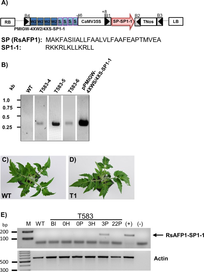 Transgenic tomato Micro Tom lines expressing the AMP SP1-1. (A) Schematic illustration of PMIGW-4XW2/4XS::SP1-1 vector construct. The vector contains a CaMV35S promoter-driven phosphomannose isomerase (PMI) gene for mannose selection. B1, B2, B3 and B4 represent attB Gateway recombination sites. SP, signal peptide RsAFP1 from radish; SP1-1, synthetic antimicrobial peptide; TNos, nopaline synthase gene terminator; RB, right border; LB, left border; W2 cis -acting elements from the parsley PR1 gene; S, cis -elements from the parsley EL17 gene; CaMV35S, minimal promoter containing the sequence -46 to +8 from the cauliflower mosaic virus 35S promoter; T35S, terminator from the cauliflower mosaic virus 35S. (B) Molecular characterization of transformed plants. PCR was done using DNA from young leaves as template and RsAFP1-TNos-specific primers. PCR fragments were obtained for T583-4, T583-5 and T583-6. PMIGW-4XW2/4XS::SP1-1 transformation vectors and WT Micro Tom tomato plants were used as positive and negative controls respectively. (C and D) Morphological phenotypes of six weeks old WT and transgenic T1 Micro Tom tomato plants. Transgenic and WT plants were grown in climate chambers for 6 weeks. (E) Detached leaves of line T583 were infiltrated with water (H) or pep25 peptide (P). Total RNA was extracted before induction (BI) and 0, 3, and 22 h after induction. RT-PCR was carried out with gene-specific primers for RsAFP1-SP1-1 and actin and fragments of 163 bp and 586 bp were expected, respectively. Genomic DNA of the transgenic line T583 was used as control (+). Total RNA from WT plants and water (-) was used as negative control. The SP1-1 band is marked with an arrow. M, 100 bp DNA ladder.