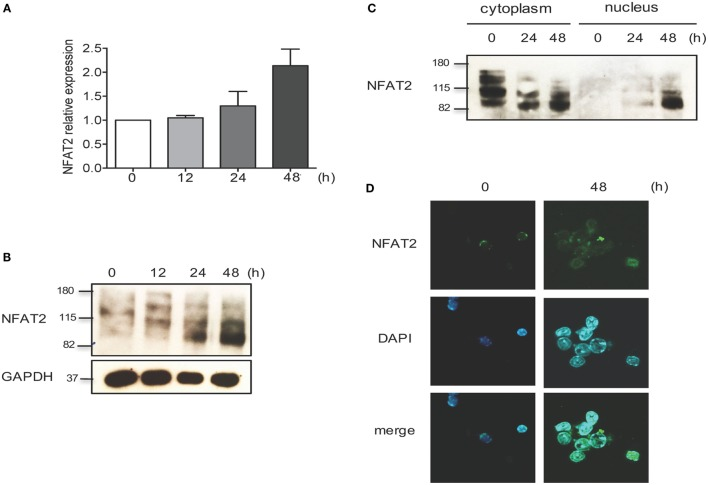 NFAT2 is present and functional in CD8 + T lymphocytes . CD8 + T lymphocytes were purified from naive C57BL/6 mice, as described, and then left unstimulated (0) or stimulated in vitro with anti-CD3 plus anti-CD28 (both at 1 μg/ml) for indicated times. (A) Total RNA was isolated, and NFAT2 mRNA levels were analyzed by real-time RT-PCR assay using SYBR green master mix. The data are normalized to the β-actin levels. Data are shown as mean ± SD of three independent experiments. Detection of NFAT2 transcription factor in CD8 + T cells in total lysates (B) and in cytoplasmic and nuclear fractions (C) by Western blot. (D) Cellular localization of NFAT2 protein in CD8 + T cells by immunofluorescence staining. All data are representative of at least two independent experiments.